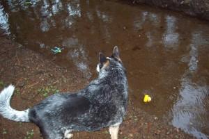 Canine Spectator